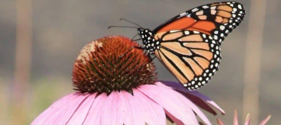 Monarch Butterfly on a coneflower