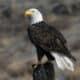 Potomac Valley Audubon Society's Monthly Program: Bald Eagles of the Potomac Valley